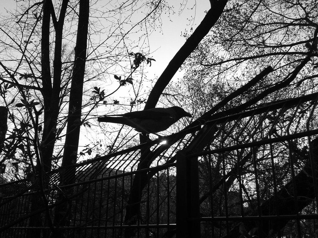 Crow. Photo: Sanjin Đumišić.