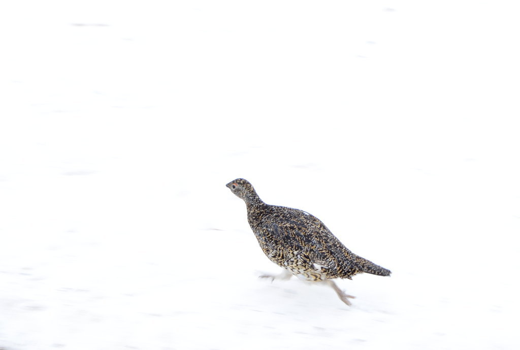 Arctic hen running along with me. Photo: Sanjin Đumišić.