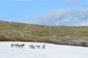 Caribou in the morning and I didn't go too near - in case of disturbing them or them chasing me. Photo: Sanjin Đumišić.