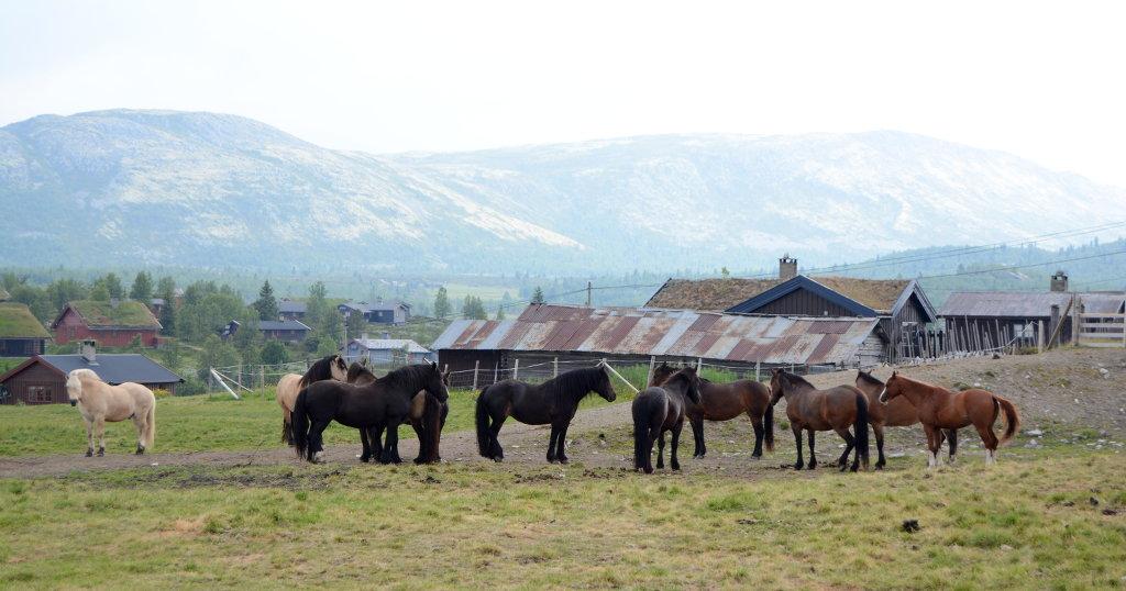 Horses in Venabu Norway. Stave church in Ringebu, under restoration. Photo: Sanjin Đumišić.