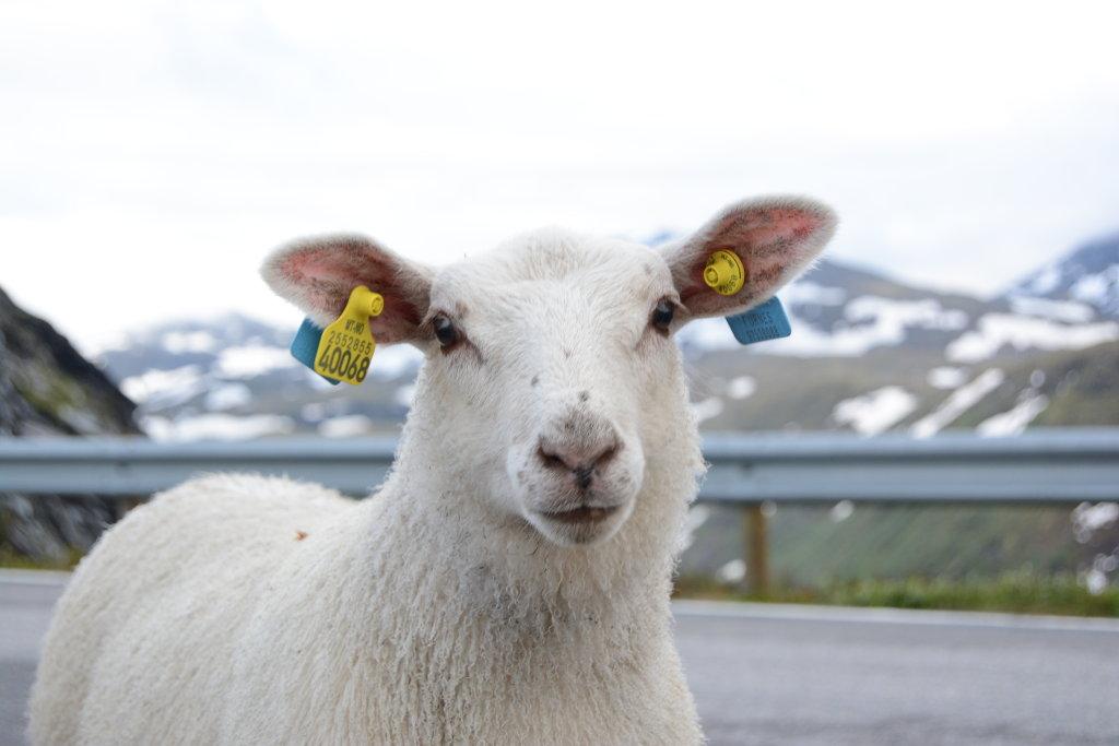 Sheep portrait. Photo: Sanjin Đumišić.
