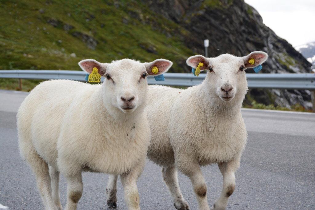 Two sheep. Photo: Sanjin Đumišić.