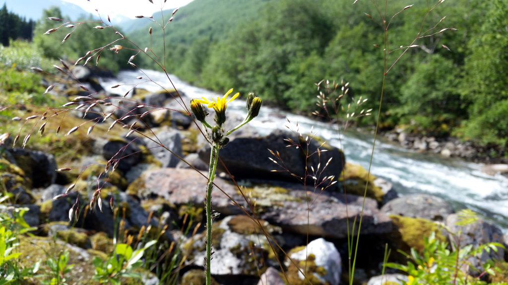 Yellow flower on the road back home. Photo: Sanjin Đumišić.