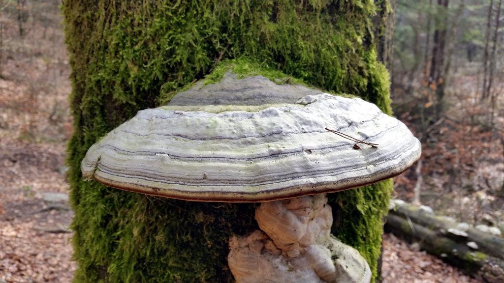 Mushroom in tree. Photo: Sanjin Đumišić.