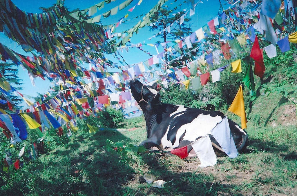 Cow among prayer flags. Photo: Sanjin Đumišić.