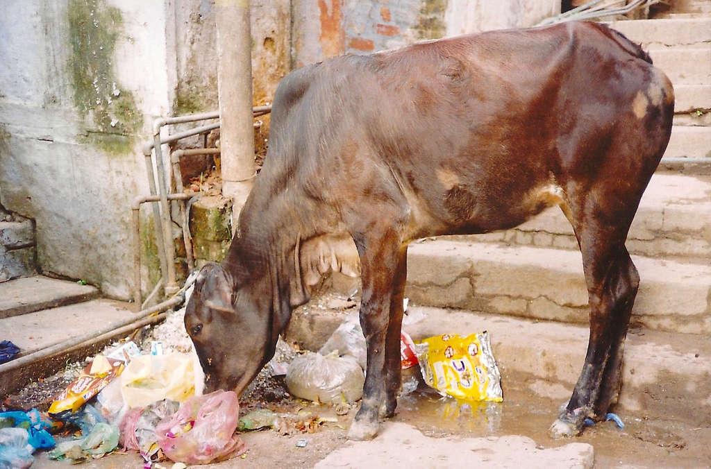 Cow eating garbage. Photo: Sanjin Đumišić.