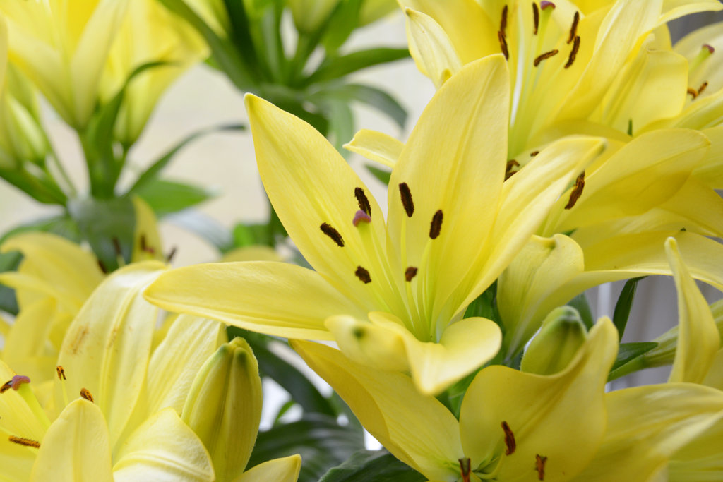 Yellow lilies. Photo: Sanjin Đumišić.