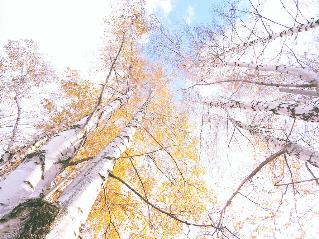 Autumn birch trees in Öland. Photo: Sanjin Đumišić.