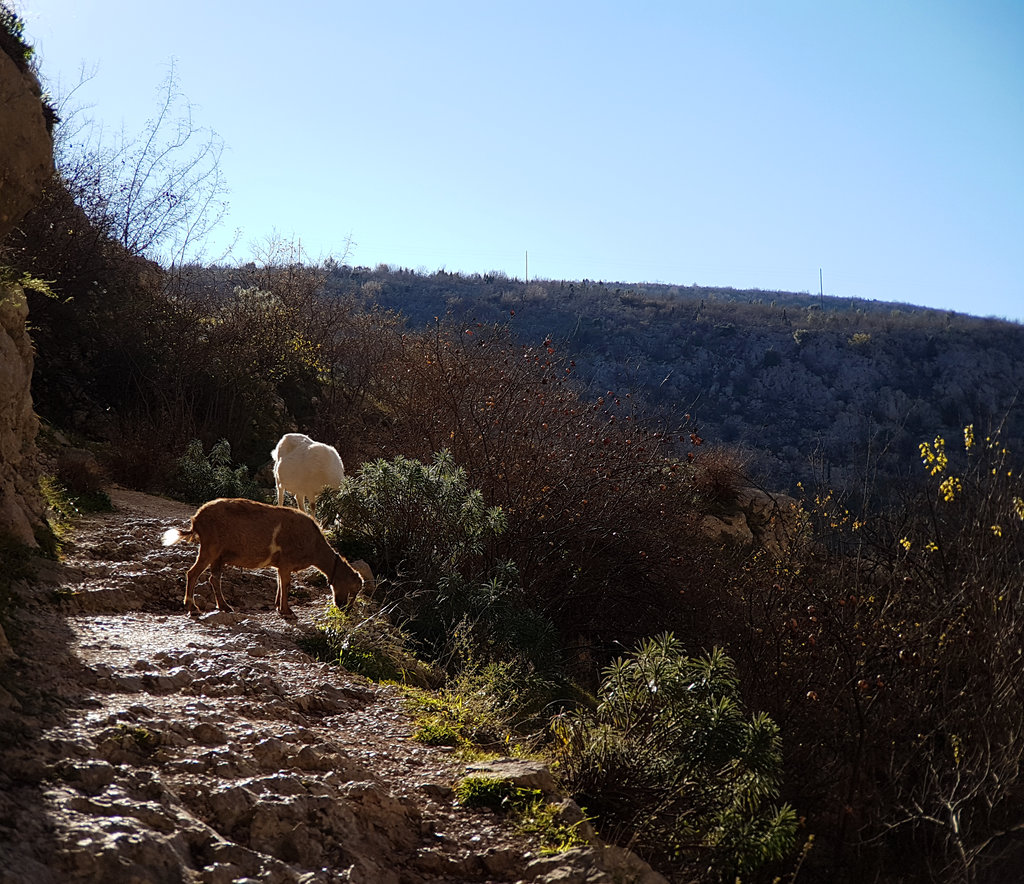 Goats in Blagaj. Photo: Sanjin Đumišić.