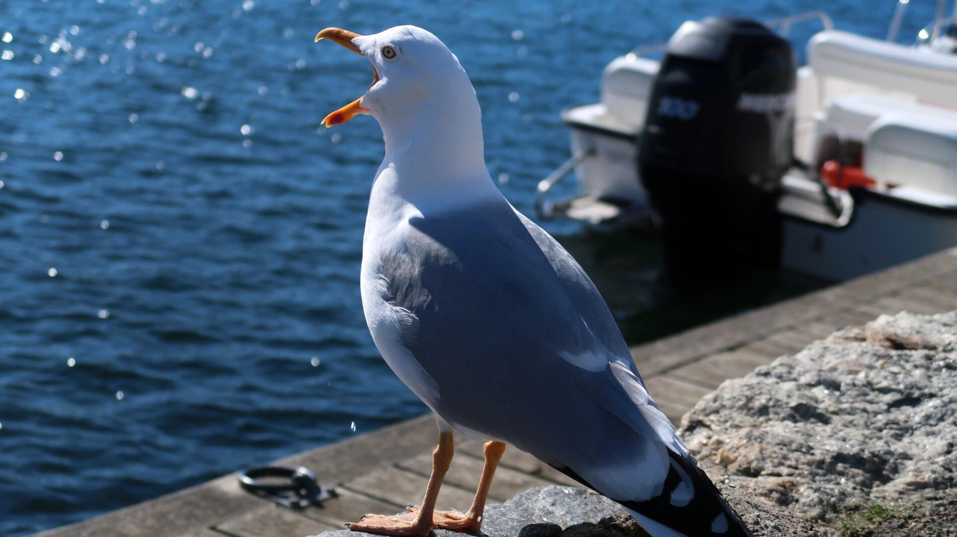 Marstrand Gull. Photo: Sanjin Đumišić.